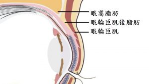 眼窩構造圖